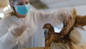 how to vaccinate chickens