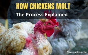 Molting in Chickens