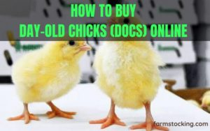 How to buy day old chick online