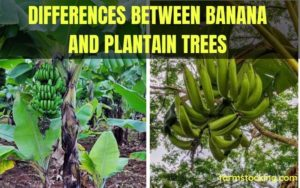 Differences between Plantain and Banana Trees