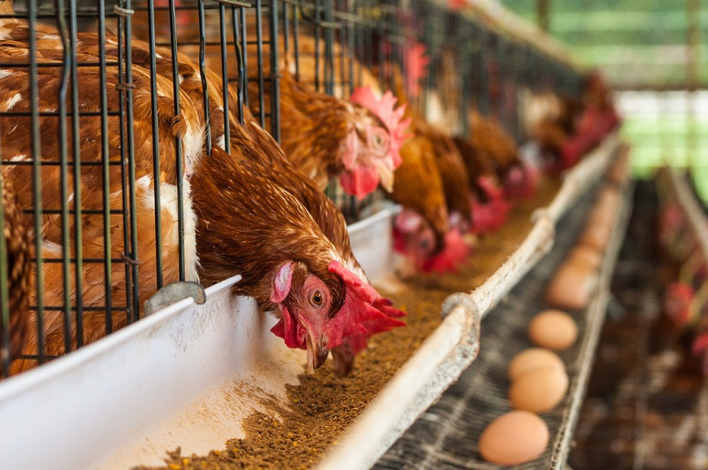 A Beginner's Guide to Layer Chicken Farming