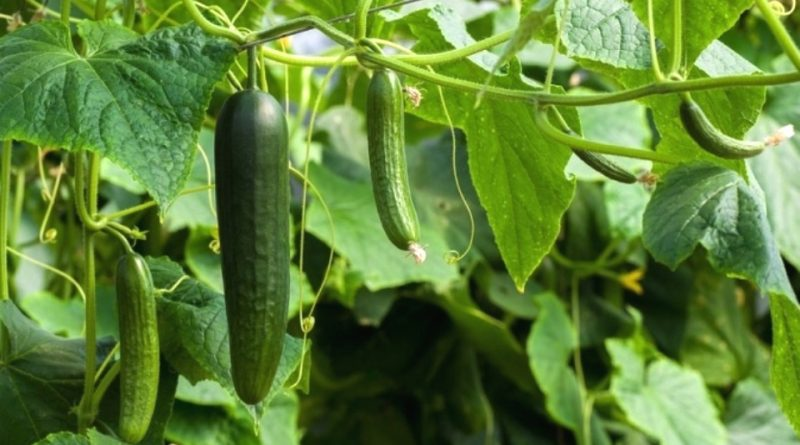 A Beginner's Guide to Cucumber Farming