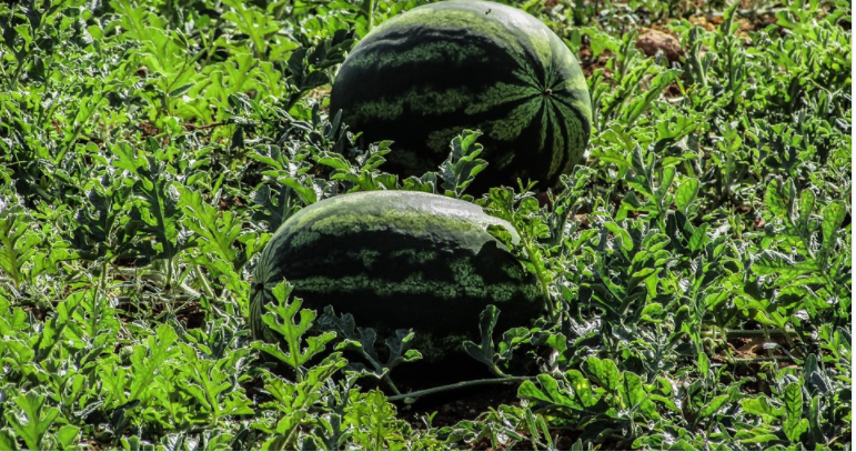 A Beginner's Guide to Watermelon Farming