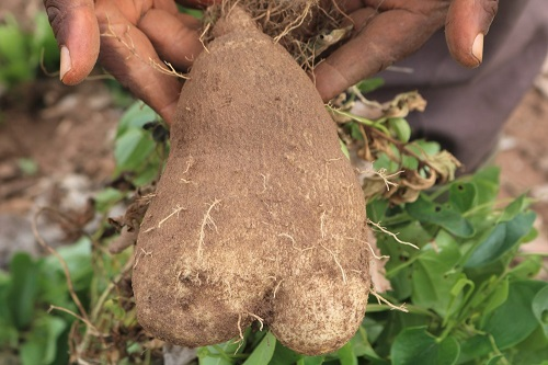 A Beginner's Guide to Yam Farming