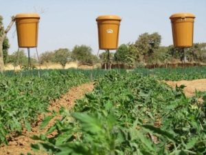 Drip irrigation for tomatoes